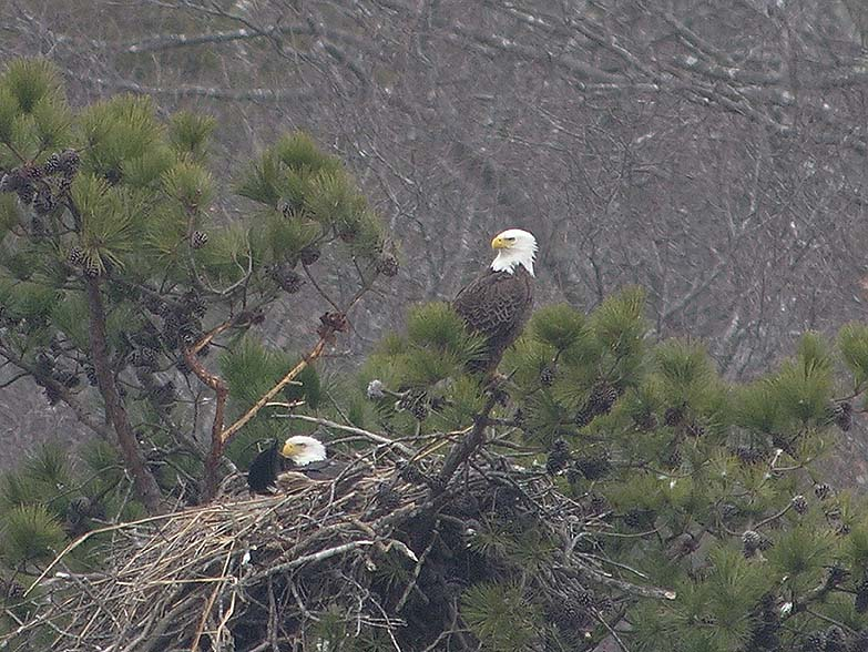 Bald Eagle Nest on the CT River