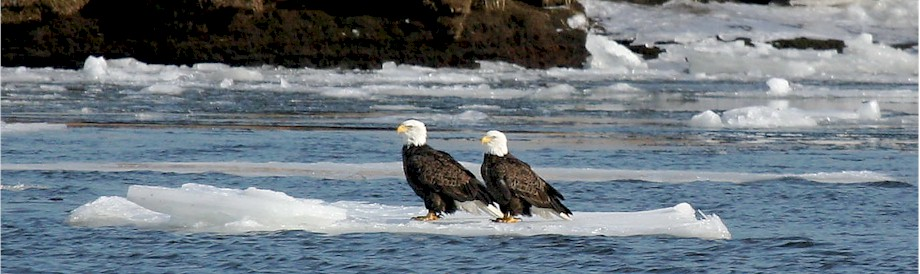Bald Eagles on the CT River 2010