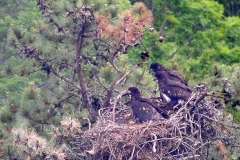 Bald Eagle Fledglings, 2017